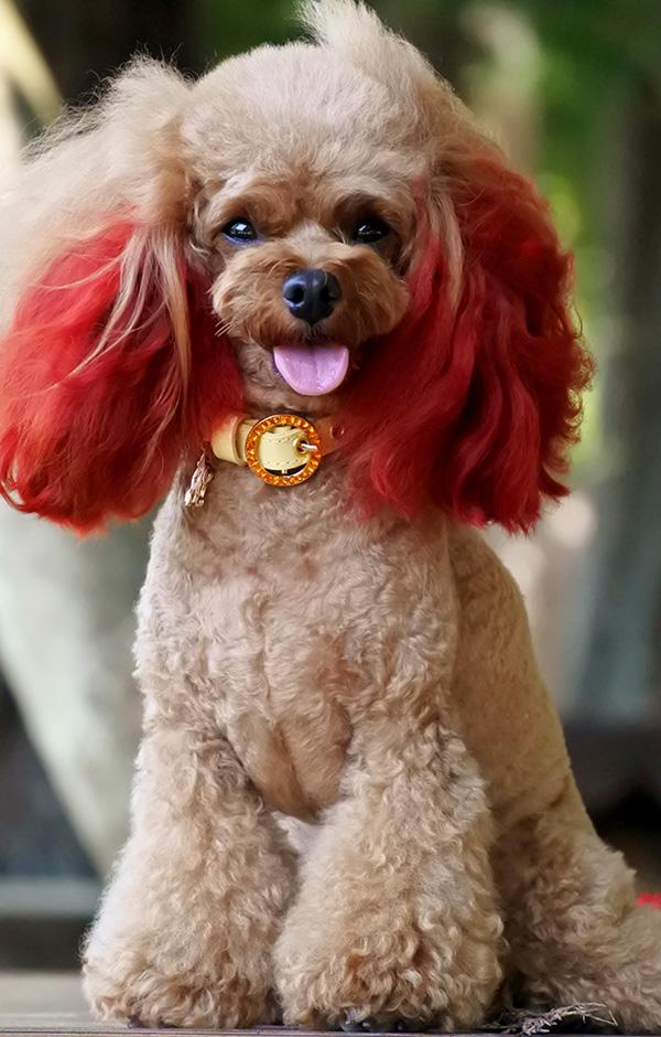 Resultado de imagen para Poodles    犬 かわいい